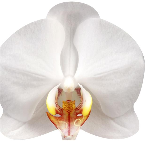 ORCHIDEES (LIVRE FORME)